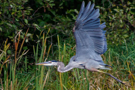 Great Blue Heron flying over a lake in Wisconsin
