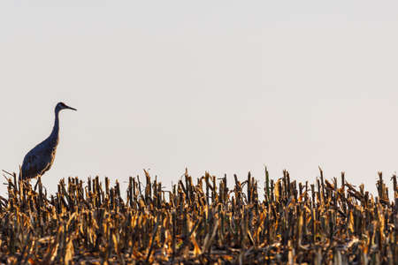 Mature Sandhill Crane (Grus Canadensis) in a chopped corn field during late summer, space for writing, selective focus, background and foreground blur