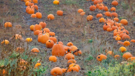 Pumpkin patch in a field ready to be sold for halloween, selective focus, background blur, foreground blur