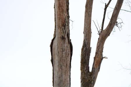Dead Elm Tree in winter caused by Dutch Elm Disease (DED) (Ophiostoma ulmi)