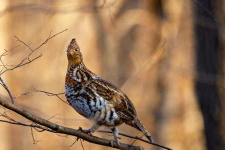 Ruffed Grouse (Bonasa umbellus) perched on a bare tree limb during autumn. Selective focus, background blur and foreground blur.