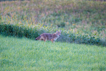 Coyote (Canis latrans) standing in a grass field during summer. Selective focus, background blur and foreground blur. Copy space