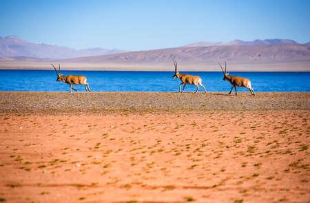 de Tibetaanse antilope