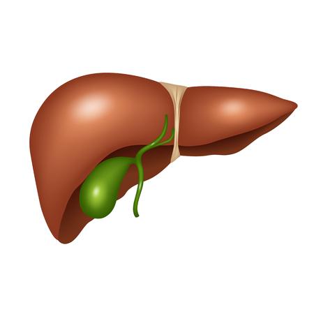 Human liver anatomy. Vector illustration Illustration