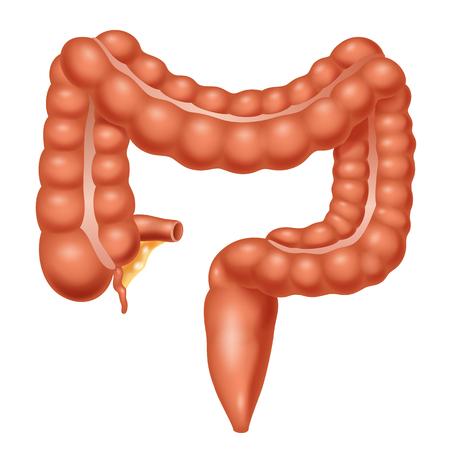 人間の解剖学.大腸。ベクトル図  イラスト・ベクター素材