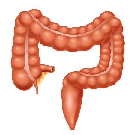 Human Anatomy. Large Intestine. Vector illustration Иллюстрация