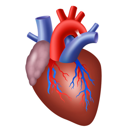 hollow body: Human heart isolated on white background. Vector illustration