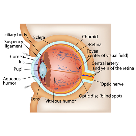 vitreous body: Human eye anatomy. Vector illustration