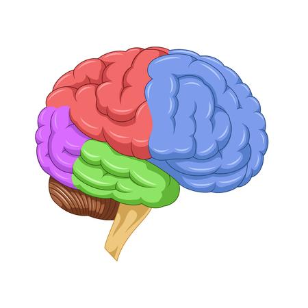 Human Brain Anatomy Royalty Free Cliparts Vectors And Stock
