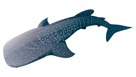 Cartoon whale shark isolated on white background. Vector illustration  イラスト・ベクター素材