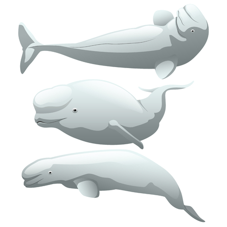 A set of exotic beluga whale isolated on white background. Vector cartoon close-up illustration.