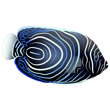 Emperor Angelfish on Isolated White Background. Vector illustration