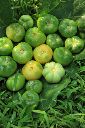 Freshly plucked green tomatoes in a farmland  photo