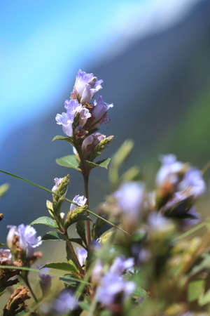 selectively: Selectively focused Strobilanthes kunthiana locally known as \ Stock Photo
