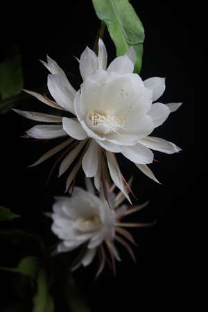 Night queen flower blossomed at night
