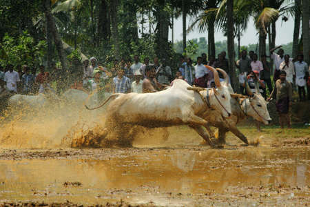 muddy tracks: KAKKOOR, INDIA - MAR 01,2012-Bullocks compete in the muddy tracks at the Kakkoor Bull racing festival held in Kakkoor, Kerala, India.