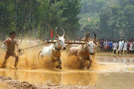 toro: KAKKOOR, INDIA - MAR 01,2012-Bueyes competir en las pistas embarradas en el festival de carreras Kakkoor Bull celebrada en Kakkoor, Kerala, India. Editorial