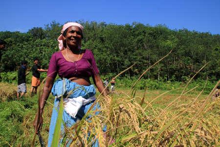 empleadas domesticas: Adoor, INDIA -MAR 11,2014-Un trabajador agrícola no identificada cosecha el arroz cultivado orgánicamente desde el campo de arroz gestionado por Kerala Jaiva Karshaka Samithi en Adoor, Kerala, India. Editorial