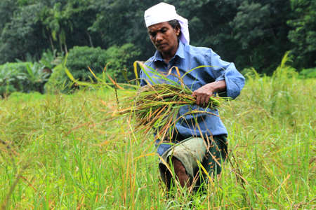managed: ADOOR, INDIA -JUL 18,2014- Unidentified farm worker harvests the organically cultivated paddy from the paddy field managed by Kerala Jaiva Karshaka Samithi in Adoor, Kerala, India.