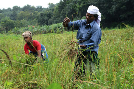 organically: ADOOR, INDIA -JUL 18,2014- Unidentified farm workers harvest the organically cultivated paddy from the paddy field managed by Kerala Jaiva Karshaka Samithi in Adoor, Kerala, India. Editorial