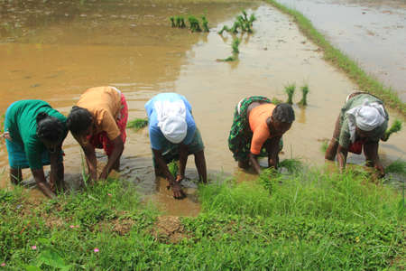 managed: ADOOR, INDIA -SEPT 29,2014-Unidentified farm workers plant organically cultivated paddy seedlings in the paddy fields managed by Kerala Jaiva Karshaka Samithi in Adoor,Kerala, India.