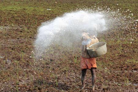alleppey: ALLEPPEY, INDIA -APR 04,2015- An unidentified farm worker throws the fertilizer in the paddy fields of Kuttanad in Alleppey, Kerala, India