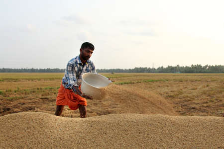 ALLEPPEY, INDIA - APR 03,2015-Unidentified farmers engage in the post harvest jobs in the rice fields  in the Kuttanad region in Alleppey, Kerala, India Editorial