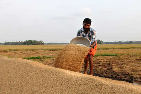 agricultural implements: ALLEPPEY, INDIA - APR 03,2015-Unidentified farmers engage in the post harvest jobs in the rice fields  in the Kuttanad region in Alleppey, Kerala, India Editorial