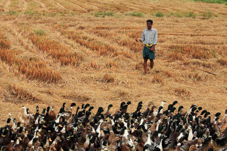 alappuzha: ALLEPPEY, INDIA - APR 03,2015- An unidentified duck farmer guides his ducks in the rice fields  in Alleppey, India.Duck farming is a major activity in backwater regions of Alleppey. Editorial