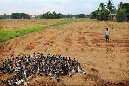 empleadas domesticas: ALLEPPEY, INDIA - ABR 03,2015- guía a un agricultor de pato sin identificar sus patos en los arrozales en Alleppey, la agricultura India.Duck es una actividad importante en las regiones de remanso de Alleppey. Editorial
