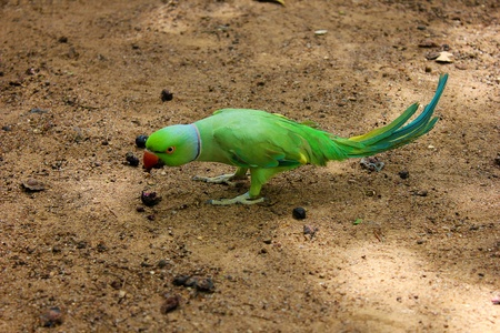 green parrot Ringneck Parakeet  Stock Photo