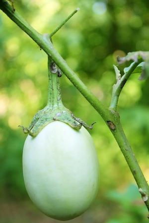eggplants in branch