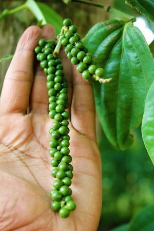 Fresh green peper
