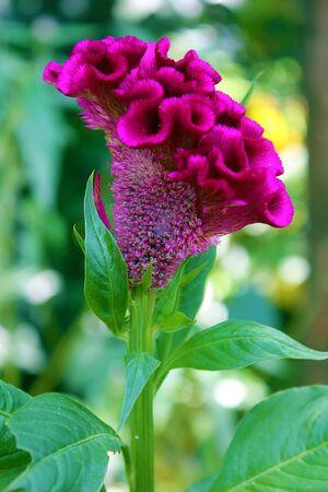 purple flower of celosia Cock Stock Photo