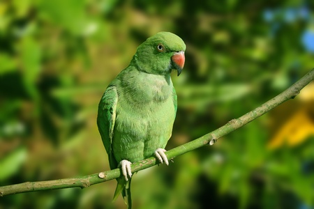 Portrait of a green Indian ring neck parrot