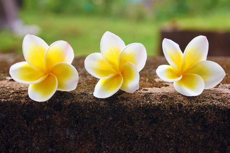 frangipani flower: Three beautiful frangipani (plumeria) flowers` Stock Photo