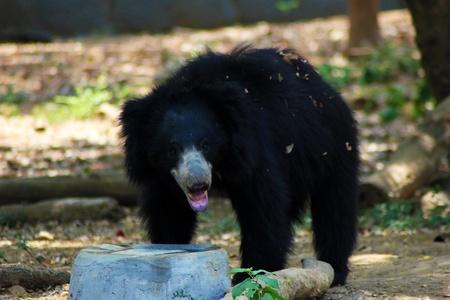 oso negro: Negro Oso Perezoso