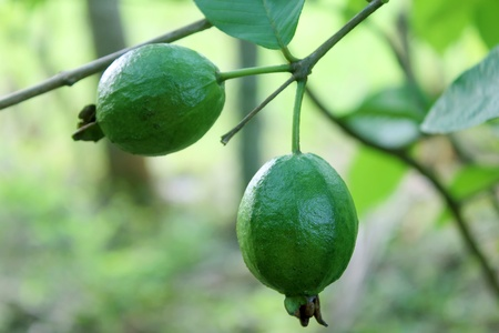 guava on tree in garden Stock Photo