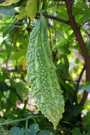 Bitter melon hanging on a  in garden