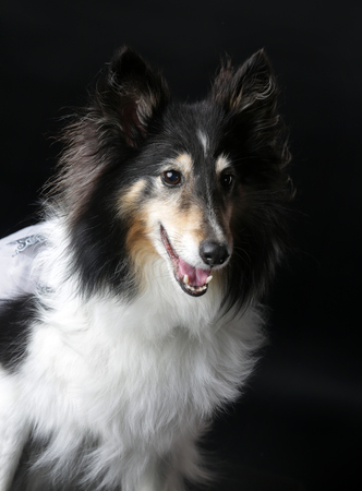 Rough Collie dog on a white background Stock Photo