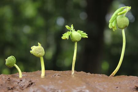 crecimiento planta: árboles que crecen en un suelo fértil en la secuencia de germinación  plantas en crecimiento  crecimiento de las plantas Foto de archivo