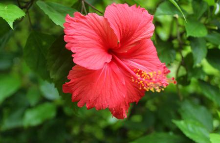 Flor roja del hibisco en un fondo verde. En el jardín tropical. Foto de archivo - 84818956