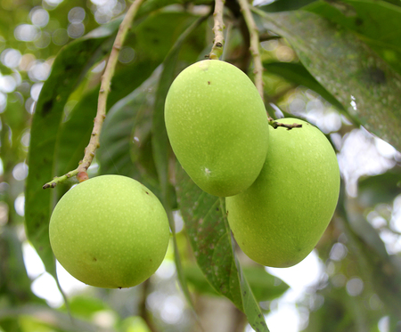 green mango fruit,Close up tree with green mango fruit in the garden. Stock Photo