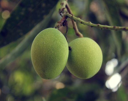 Young mango on tree.
