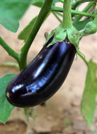 Egg-plant growing in the garden