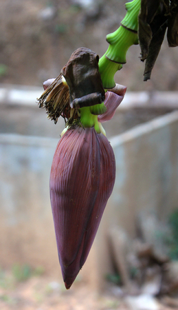 Banana flower with fruits on the branch Stock Photo