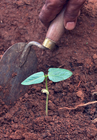 Hand planting  seedlings - closeup, growing food concept