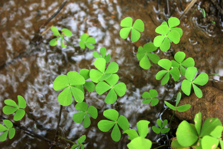 Green clovers leaf Stock Photo