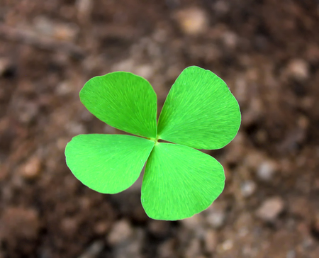 Green four-leaf clover leaf isolated