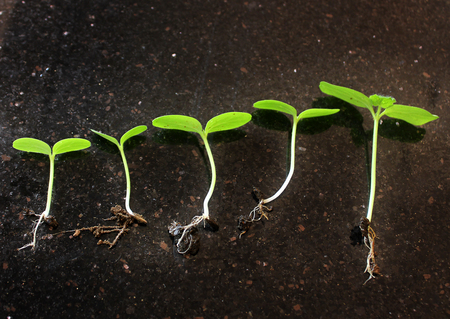 Seedlings growing. Plants grow stages. Seedlings growth periods. Stock Photo